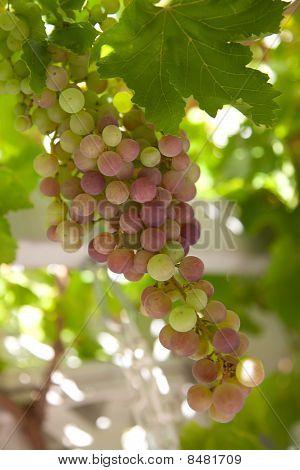 Grüne Weintraube Cluster auf Weinrebe
