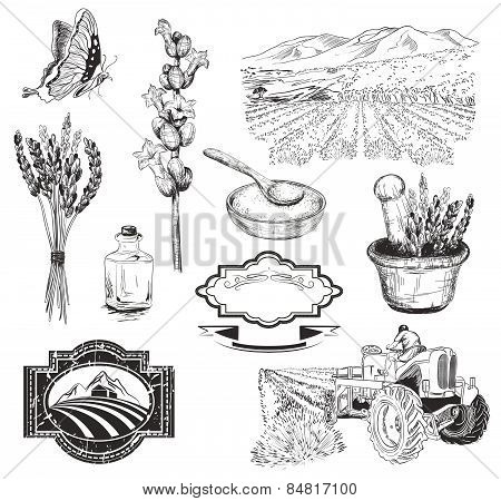 collection of graphic lavender flowers sketch