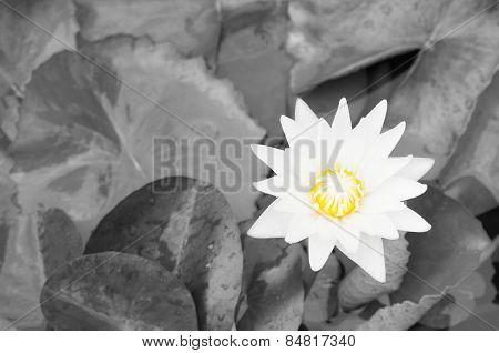 Lotus Flower On B&w Background