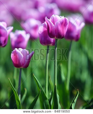 purple with white border tulips blooming varieties of Arabian Mystery - shallow depth of field