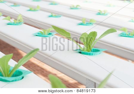 Hydroponics Vegetable In The Nursery.