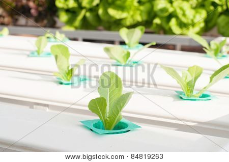 Hydroponics Vegetable Growing In The Nursery.