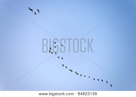 Geese flying in a the sky at dawn
