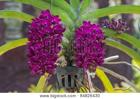Rhynchostylis Gigantea Var Red Orchids , Genus Is Rhynchostylis.