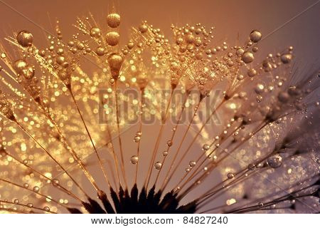 Dewy dandelion at sunrise close up