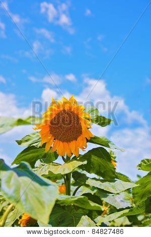 Sunflower. Gorgeous bright yellow sunflower head on a nice sunny day
