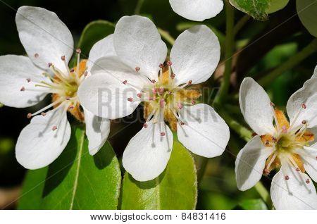 Pear tree blossom.