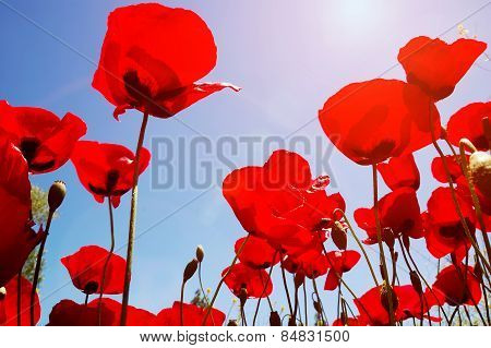 Looking Up At Red Poppies In Spring Field