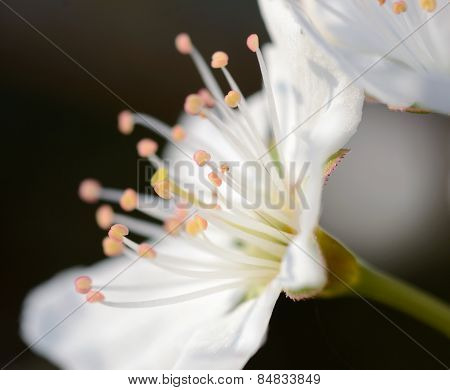 Pistils on a plum flower