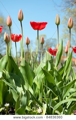 Beautiful colourful tulip flowers background in spring