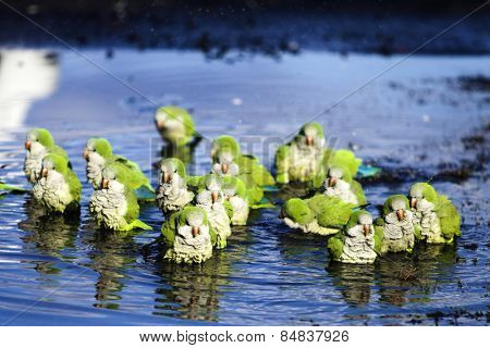 Parrots in puddle
