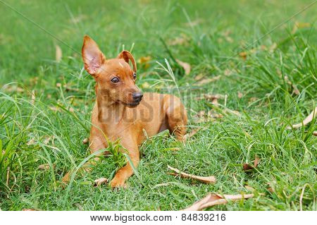 Puppy Of Miniature Pinscher And Pooch Playing On Green Grass In Yard
