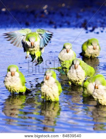 Monk parrots splashing in a puddle
