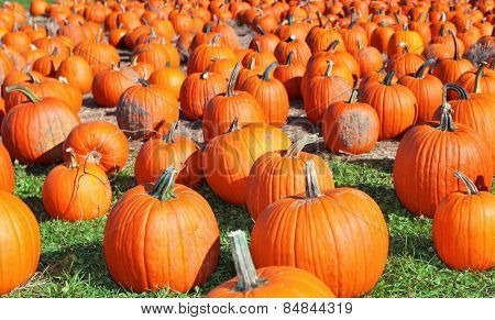 Many large pumpkins at a farm in the fall