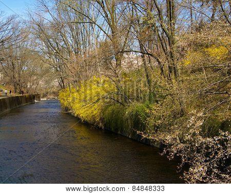 Forsythia along river