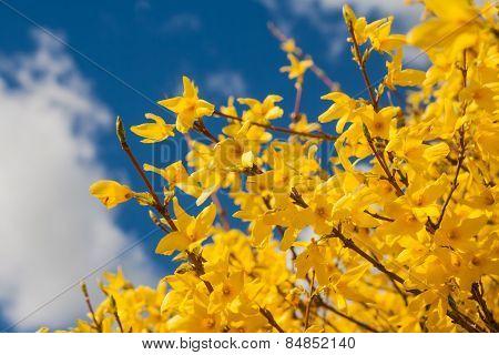 Blooming Forsythia