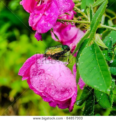 Closeup Of Cockchafer Sitting On A Pink Flower Rose With Raindrops In Nature