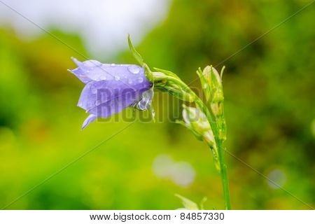 Bluebell Flower With Rain Drops On A Green Blur Background