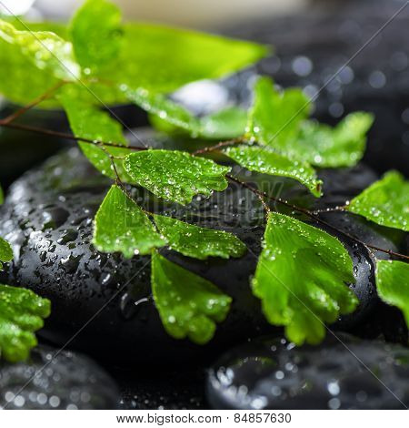 Beautiful Spa Concept Of Green Twig Fern On Zen Basalt Stones With Drops, Closeup