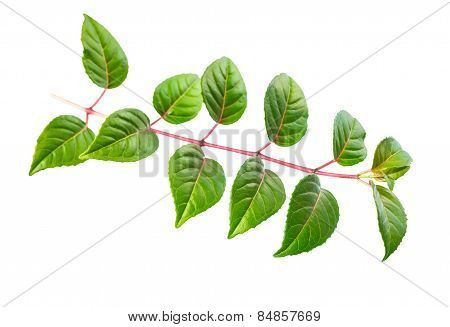Green Twig Of Fuchsia With Leaves Is Isolated On White Background