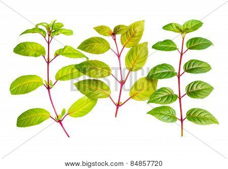 Three Different Fresh Green Twigs Of Fuchsia Is Isolated On White Background