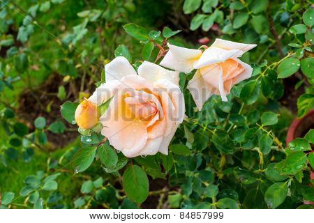 Delicate Pink Rose Flower With Dew On The Natural Green Background, Closeup