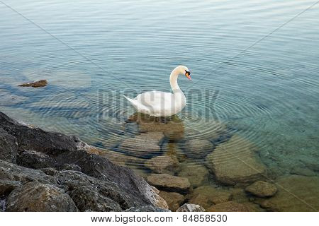 A Swan In The Lake