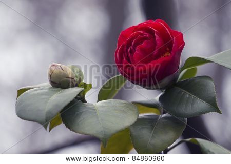 One rose and background of bokeh