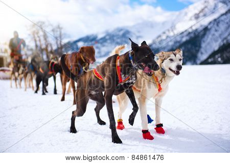 Musher hiding behind sleigh at sled dog race on snow in winter. Mountains