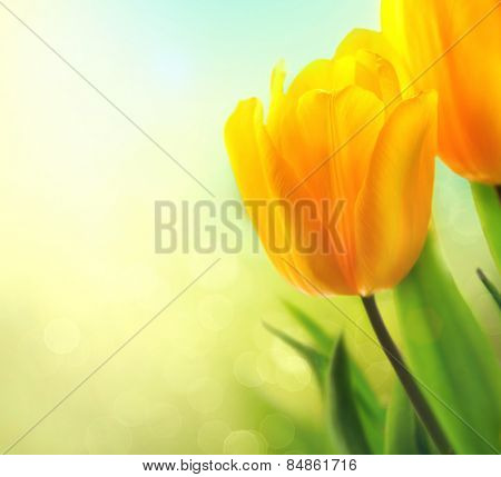 Beautiful Spring tulip flowers growing. Beautiful yellow tulips close up. Bouquet. Elegant design of Easter or Mother's Day gift over nature green blurred background. Springtime.