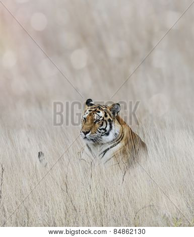 Tiger Resting In The Grass