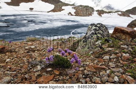 Flower On Icy Alpine Lake