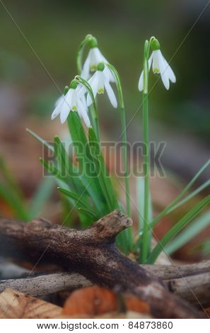 First spring flowers. Glade with white snowdrops in the forest