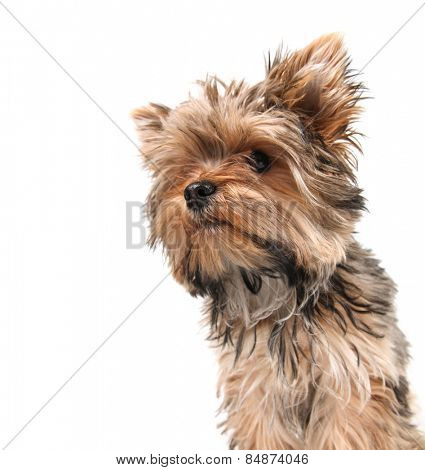 a cute yorkshire terrier on a white background focus on the nose