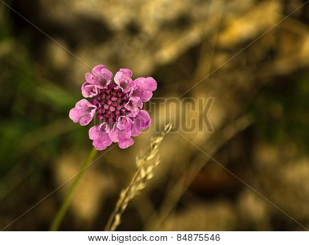 Beautiful mountain flower in forest at central Serbia