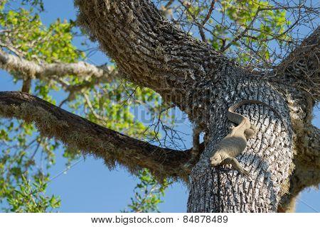 Monitor lizard (Varanus) relaxing on the tree