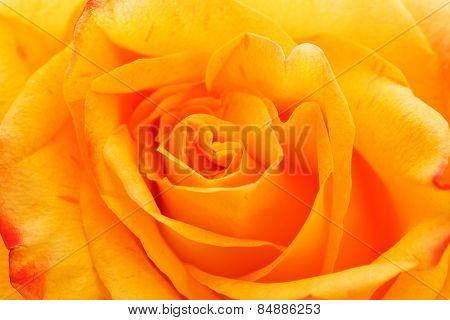 Yellow Rose close up macro.