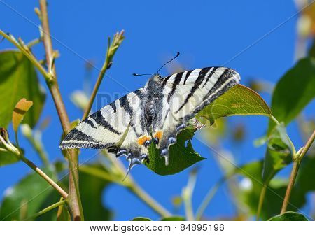 Scarce swallowtail butterfly in natural habitat