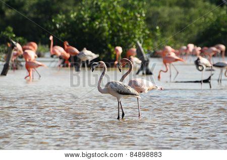 Pink Flamingos In Their Natural Habitat