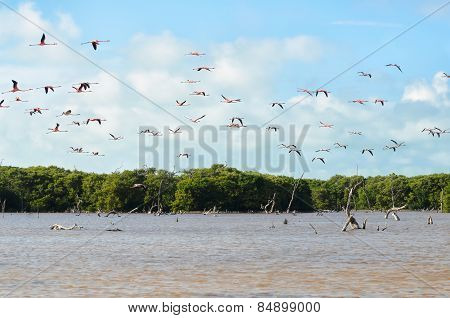 Flying Pink Flamingo Above Lagoon And Mangrove Forest