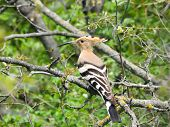 stock photo of pecker  - bird with an interesting color - hoopoe sitting on a tree in search of food