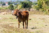 stock photo of female buffalo  - White Thai Cow In Field  - JPG