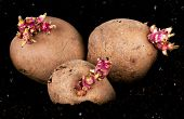 stock photo of batata  - Old potatoes with sprouts in soil  - JPG