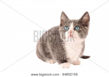 White And Grey Kitten