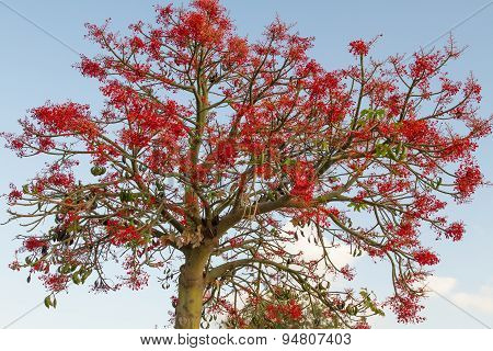 The Australian Brachychiton Acerifolius, Commonly Known As The Illawarra Flame Tree .