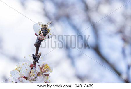 Bee On A Flowering Tree