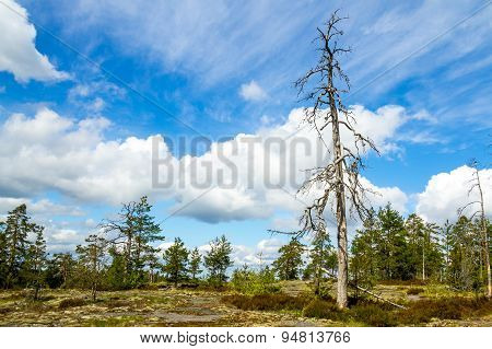 Dead Pine Against The Beautiful Blue Skies