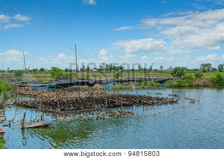 Duck In Farm, Eat And Swimming In Marsh With Blue Sky
