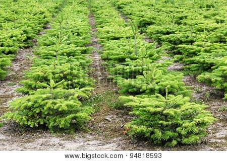 Nordmann fir plantation in Denmark