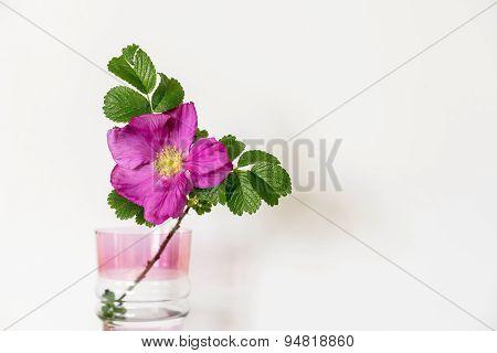 Blossomed Dog Rose Flower  In A Glass Vase